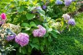 Pink hydrangea bush — Stock Photo
