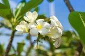 цветы plumeria. — Стоковое фото