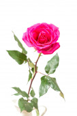 Pink Rose isolated — Stock Photo