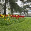 Bed of tulips, lawn and pine trees in a residential area — Stock Photo #75769361