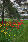 Bed of tulips, lawn and pine trees in a residential area — Foto de Stock