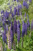Blooming lupines in June — Stock Photo