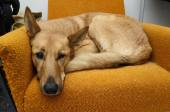 Brown mongrel dog lying in the orange chair — Stock Photo
