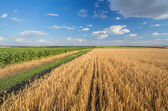 Summer Landscape with Wheat Field — Stock Photo