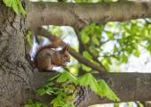 Squirrel eating nut in green forest.  — Stock Photo