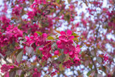 Closed up of cherry blossom — Stock Photo