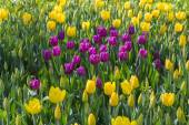 Flower bed of multicolor tulips — Stock Photo