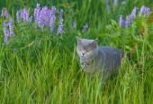 Grey british cat in the grass — Stock Photo