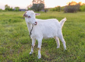 Portrait of goat eating a grass on meadow — Stock Photo