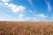 Summer Landscape with Wheat Field and Clouds  — Stock Photo