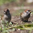 Tree sparrow, Passer montanus — Stock Photo #52101303