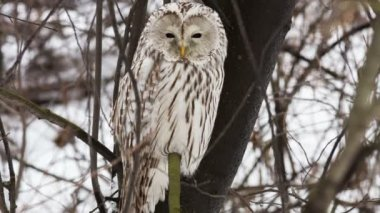 Ural owl — Stock Video