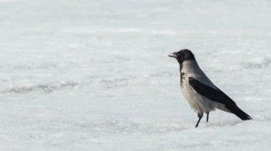 灰色的乌鸦 — 图库视频影像