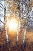Young birches on the wild misty glade — Stok fotoğraf