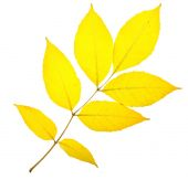 Yellow ash leaf — Stock Photo