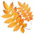 Rowan yellow leaves isolated — Stock Photo #54619863