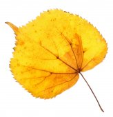 Linden yellow leaf isolated — Stock Photo