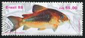 Fresh-water Fish Brochis splendens — Stock Photo