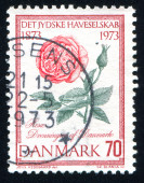 Flower Dronningen of Denmark rose — Stock Photo
