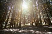 Pinewood forest — Foto Stock
