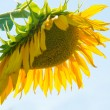 Yellow sunflower with green leaves — Stock Photo #53650053