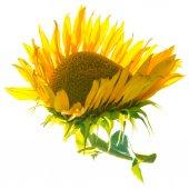 Gelbe sonnenblume mit grünen blättern — Stockfoto