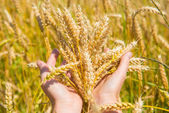 Wheat in the hands — Stock Photo
