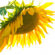 Yellow sunflower with green leaves — Stock Photo #59580761