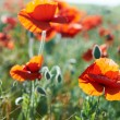 Beautiful red flowers poppies — Stock Photo #59581261