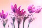 Pink Pulsatilla patens flowers — Stock Photo