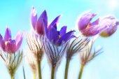 Pulsatilla patens flowers — Stock Photo
