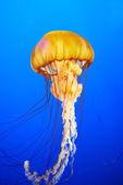 Orange jellyfish (Chrysaora fuscescens) — Stock Photo