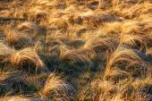 Field of yellow dry feather grass — Stock Photo