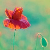 Field of beautiful red poppies — Stock Photo