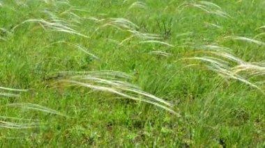 Tüy çim alan — Stok video