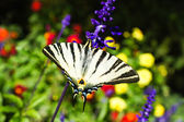 Scarce swallowtail butterfly — Stock Photo