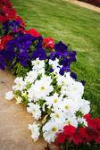 Petunia bloemen — Stockfoto