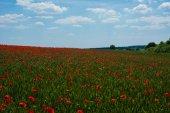 Vivid poppy field — Stock Photo
