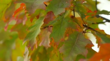 Closeup of autumnal maple tree branch with red yellow color leaves move in wind. — Stockvideo