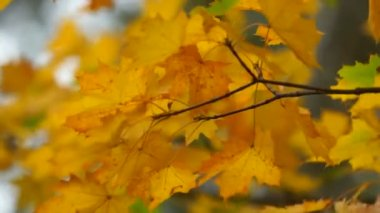 Autumn maple leaves close-up — Stock Video