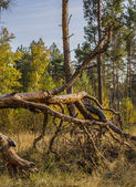 Pine Forest in Autumn Colors — Foto Stock