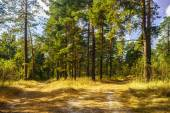 Road to pine forest in the autumn sunny day — Stock Photo