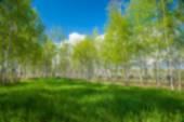 Summer birch out of focus, natural bokeh background — Fotografia Stock