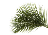 Green leaves of palm tree — Stock Photo