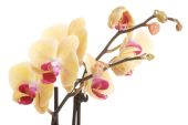 Twig of yellow orchid flower — Foto Stock