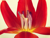 One separated open red tulip flower. — Stock Photo