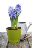 Blue hyacinths and garden tools  — Stock Photo