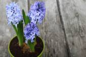 Blue hyacinths in a pot — ストック写真
