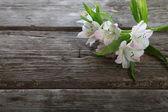 White alstroemeria — Stock Photo
