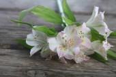 Alstremeria biały — Zdjęcie stockowe